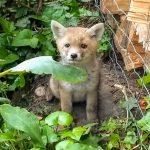 jong vosje in de tuin